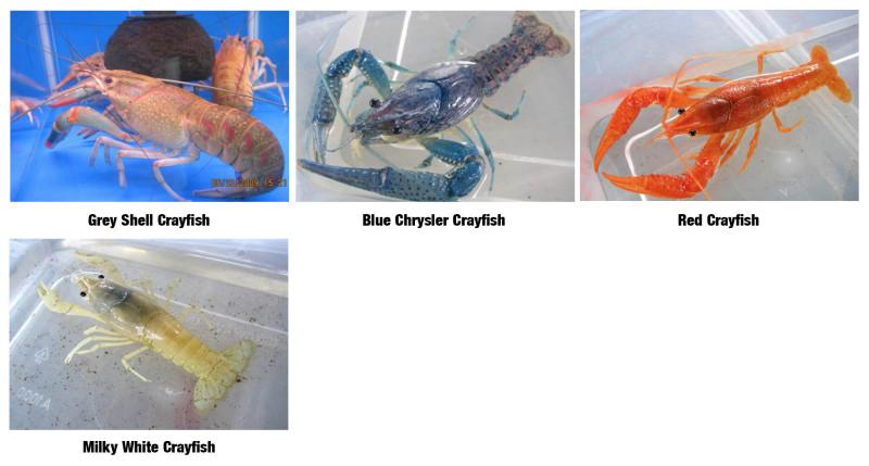 Crayfish_1